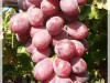 Red variety with seed, has large cylindrical berries.