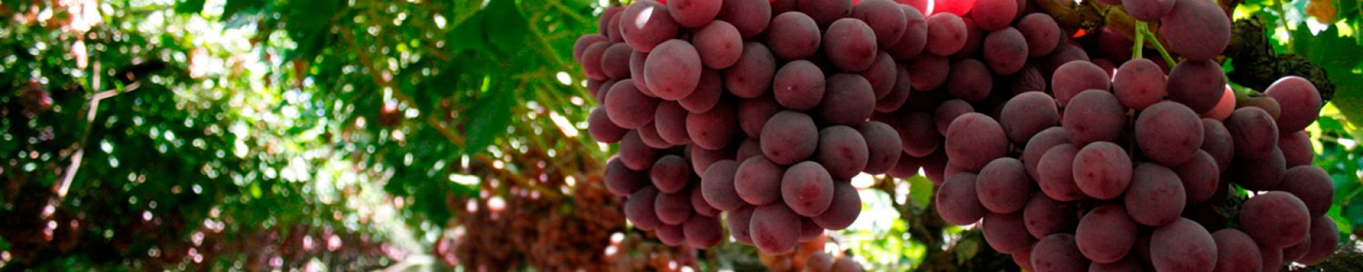 Our climatic conditions grant us the possibility to focus our harvest according to the requirements of the market